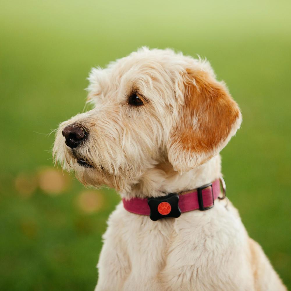 PitPat Aktivitätsmonitor für Hunde mit App, Bild 3