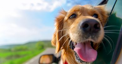 Golden Retriever Looking Out Of Car Wi